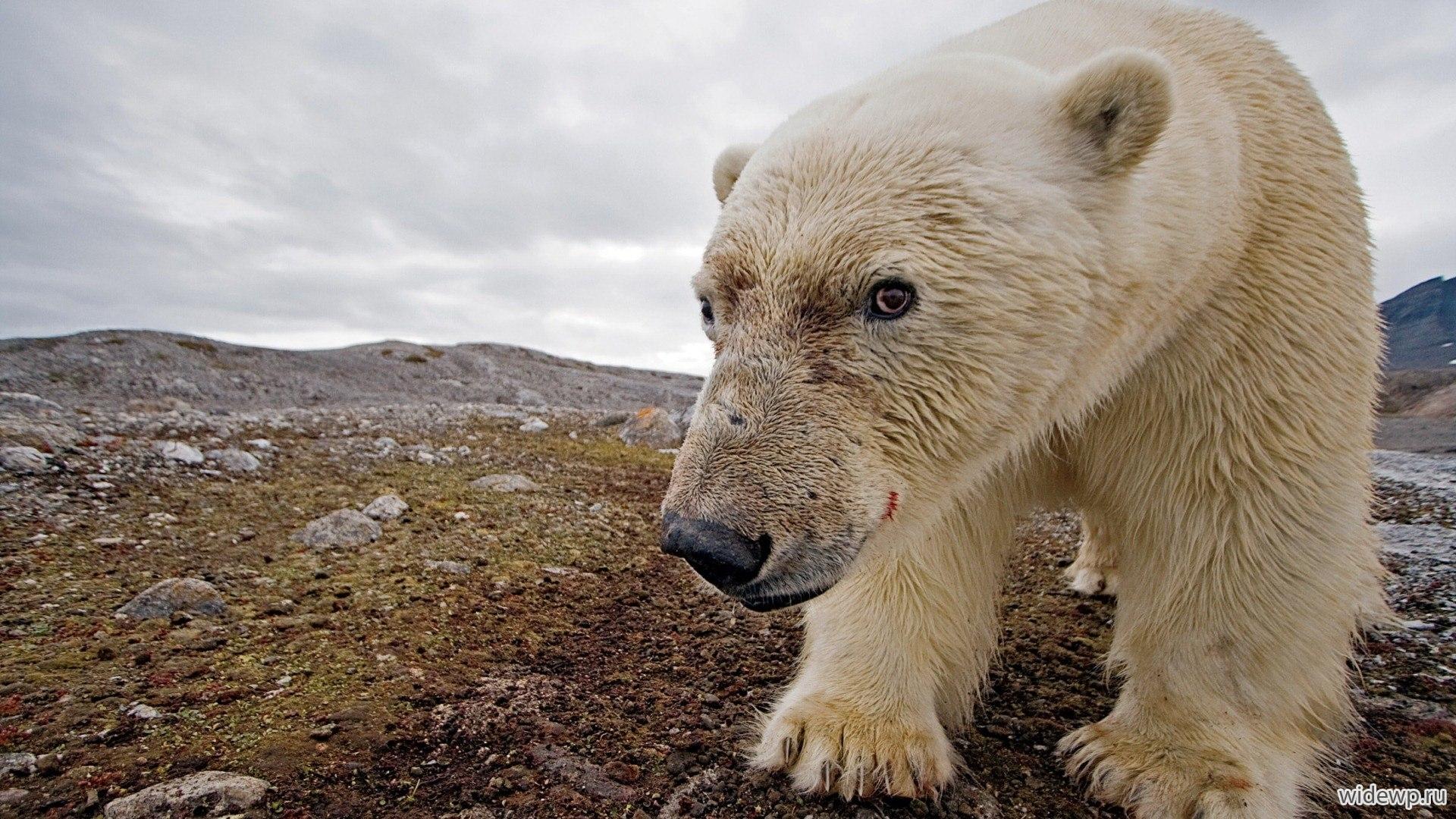 polar bear threatened or not essay